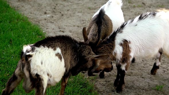 Thumbnail for Baby Goats Playing In Farm Zoo