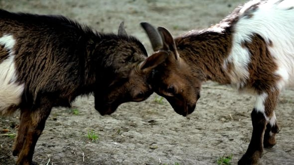 Thumbnail for Baby Goats Fighting In Farm Zoo