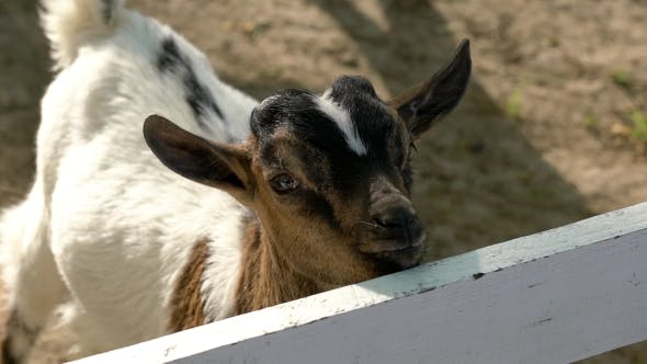Cover Image for Baby Goat Is In Zoo