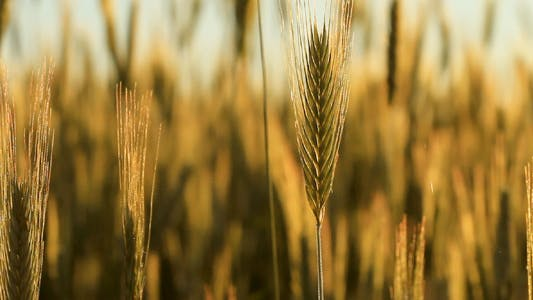 Thumbnail for wheat field. shot with slider.