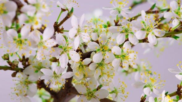 Weiße Kirschbaum Blumen