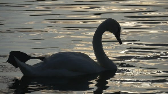 Thumbnail for Swan Is Swimming In Clean Water With Sun Glare