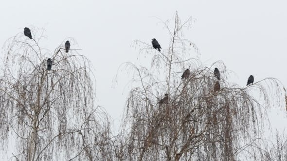 Thumbnail for Black Ravens On The Tree Branch
