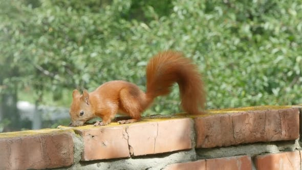 Thumbnail for Red Squirrel In Day
