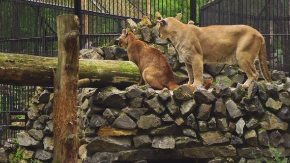 Thumbnail for The Marriage Between The Couple Cougars