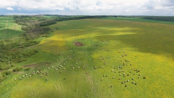 Thumbnail for Flying Over Green Field With Grazing Cows