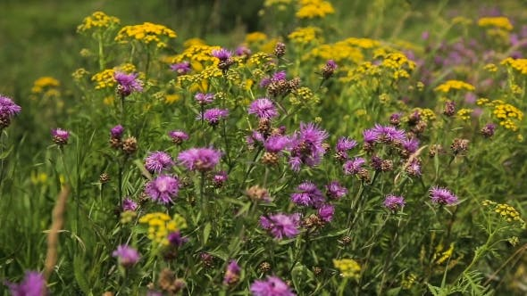 Thumbnail for Beautiful Wildflowers On The Meadow.