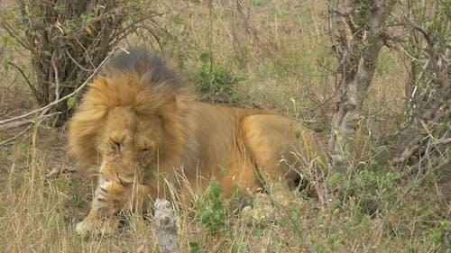 Löwe Reinigung seiner Pfote