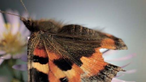 Butterfly Flaps Wings