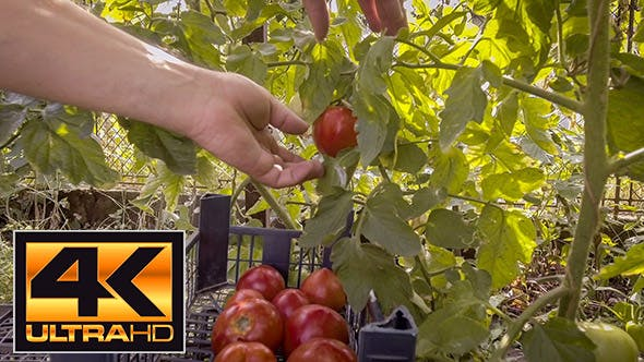 Thumbnail for Picking Tomatoes In Greenhouse