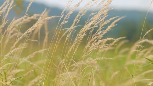 Swaying Grass Field. Herbs Movement Of The Wind, The Colors Of Nature.
