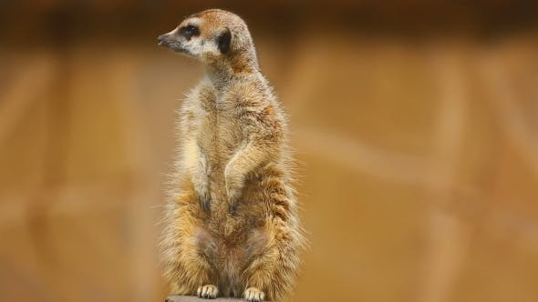 Cover Image for Meerkat Looking Out