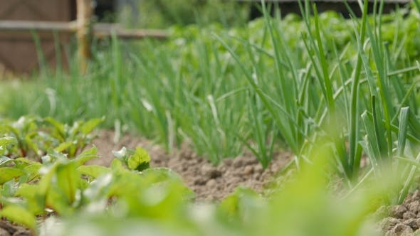 Thumbnail for Bed Of Green Onions In The Garden