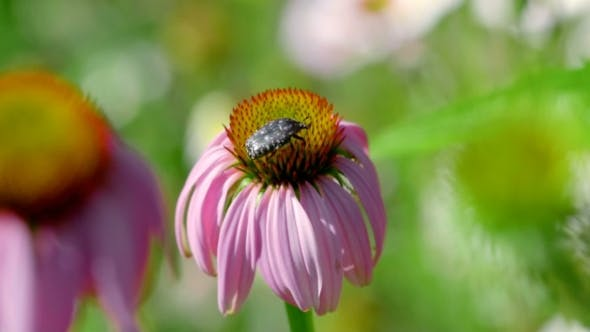 Thumbnail for Beetle On a Echinacea Flower