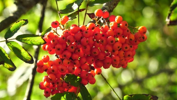 Thumbnail for Bunch Of Rowan Berries .