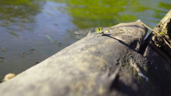 Cover Image for Large Dragonfly Sits On a Log Near The Water