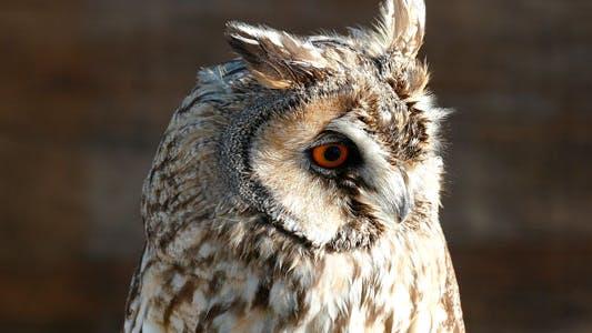 Thumbnail for Little Owl