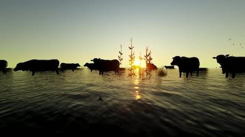 Buffalo Herd Walking in Reeds