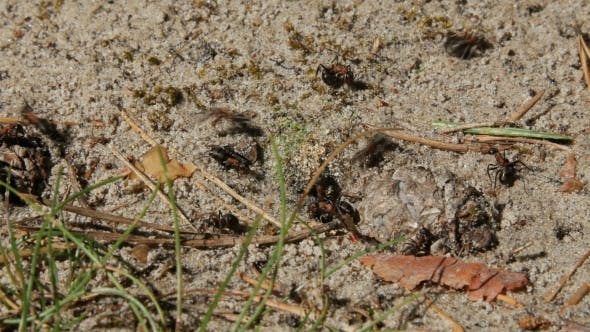 Thumbnail for Shot Of Small Ants .