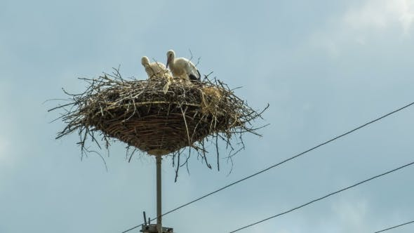 Thumbnail for Storks Are Sitting In a Nest On a Pillar