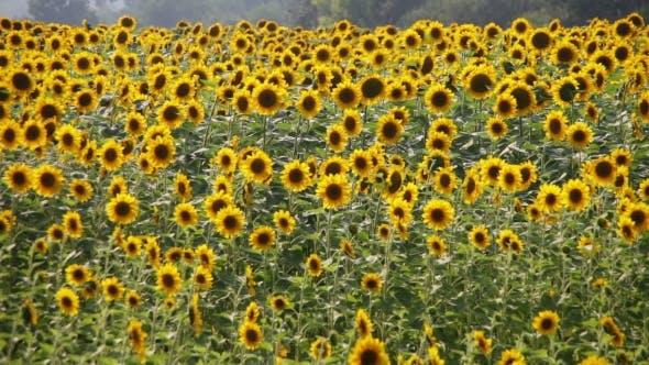 Thumbnail for Sonnenblumen im Feld