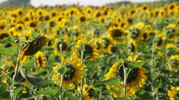 Thumbnail for Sunflowers In The Field