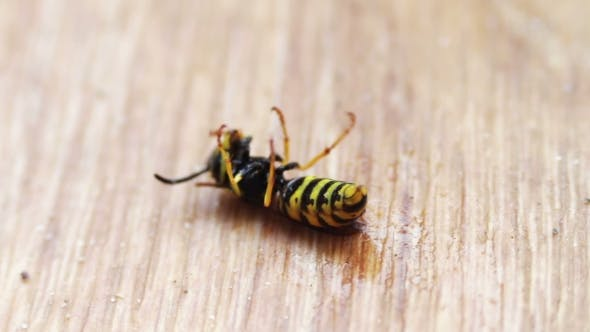 Thumbnail for Dying Wasp On The Floor