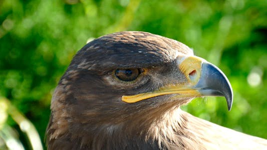 Look Eagle