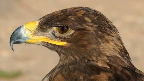 Sharp Eagle