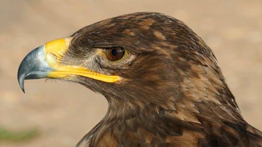 Thumbnail for Sharp Eagle