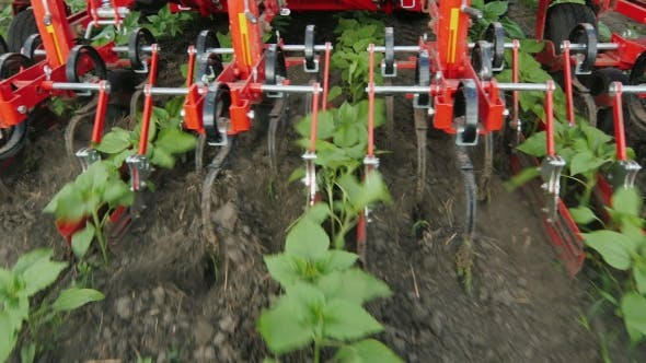 Thumbnail for Tractor Removes Weeds From Rows Of Sunflowers