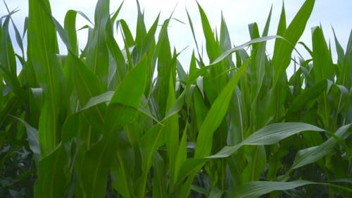 Green Field Of Corn