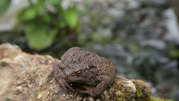 Thumbnail for Toad Basking On The Rock