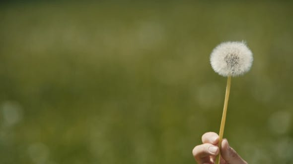 Thumbnail for Blowing White Dandelion On Sunny Day