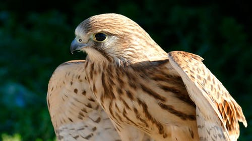 Nestling Eagle