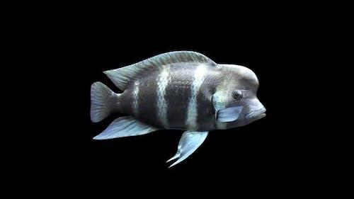 Frontosa Fish - Cichlids