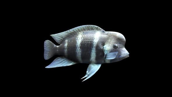 Cover Image for Frontosa Fish - Cichlids