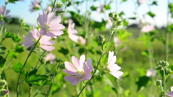 Thumbnail for Purple Pink Meadow Mallow Flowers Malva