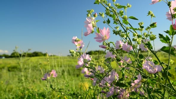 Thumbnail for Purple Pink Meadow Mallow Flowers Malva