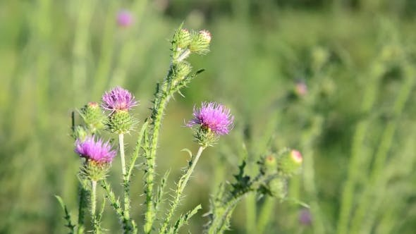 Thumbnail for Thistle Flower In The Meadow At Summer