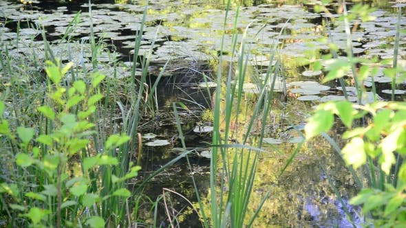 Thumbnail for Small River Overgrown With Reeds And Duckweed In Central Russia