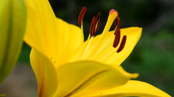 Thumbnail for Yellow Lily With Large Stamens