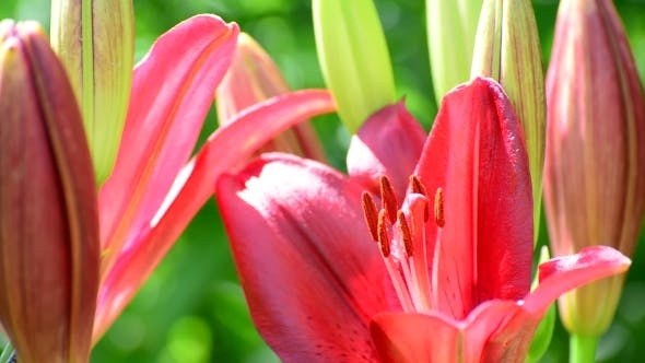 Thumbnail for Large Pink Lily With a Bud In Flowerbed