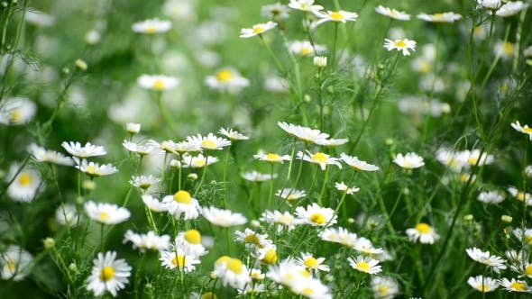 Thumbnail for Wild Daisies Swaying On Strong Wind