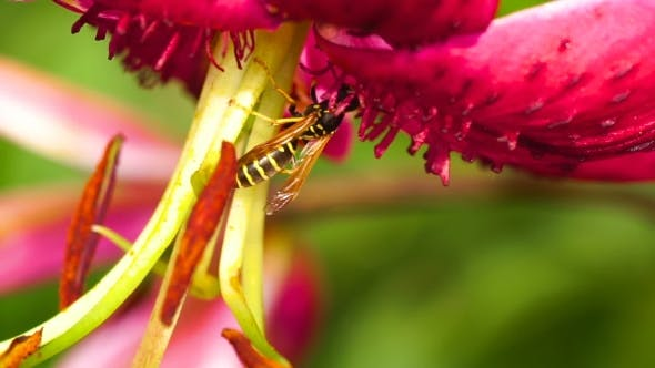 Thumbnail for Wasp On a Flower Lily
