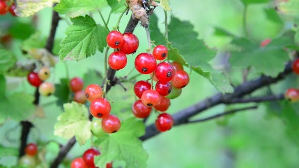 Thumbnail for Branch Red Currant In The Garden