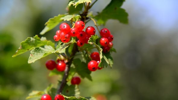 Thumbnail for Branch Red Currant In The Garden On a Sunny Day