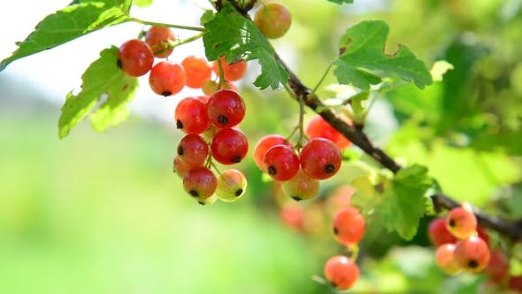 Thumbnail for Ripe Red Currant Berries In Garden
