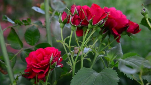 Thumbnail for The Bush Of Red Roses In Garden