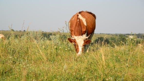 Thumbnail for Ginger Mottled Cow Eating Grass On Glade